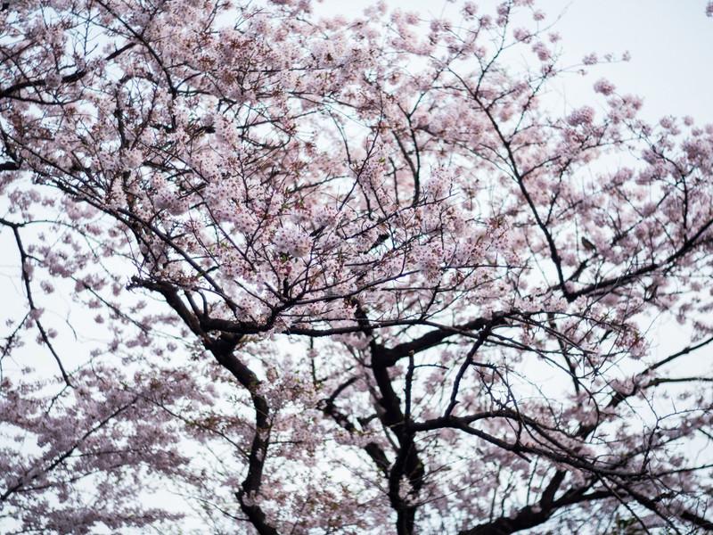 Sakura_edited2